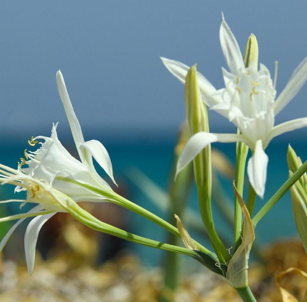 Closeup Photo of Lilies on the beach